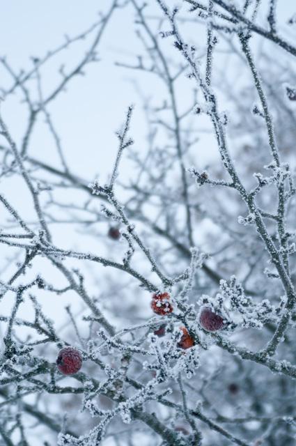DSC_5531appeltree_winter